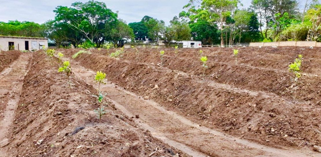 Macadamia consultant uses fieldmargin to make precision farming recommendations from droneimagery